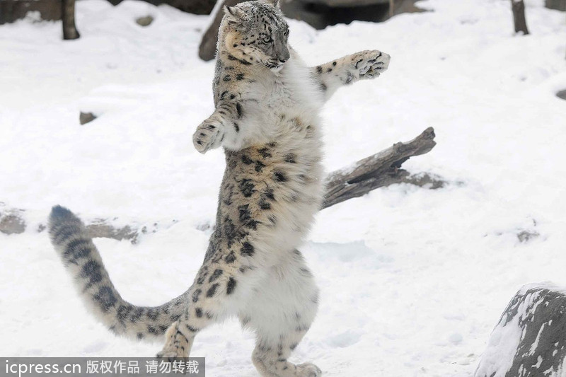 Snow leopard cubs show their muscle[3]- Chinadaily.com.cn