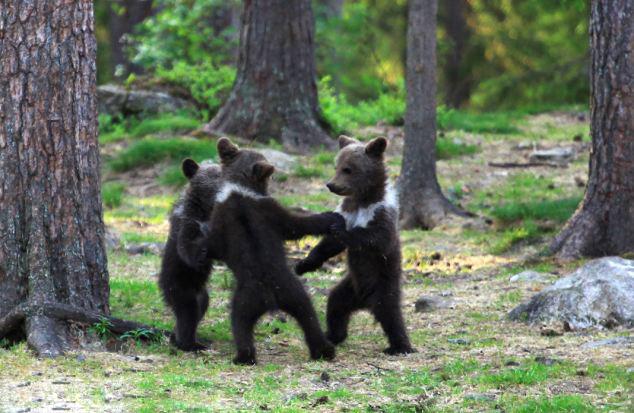 【环球网综合报道】据英国《每日邮报》近日报道,芬兰52岁的体育老师瓦尔特利在树林里幸运地拍到三只棕熊宝宝围成圆圈,欢快起舞的萌照。   报道称,瓦尔特利在穿越东芬兰的树林时,惊奇地看到三只站立的熊宝宝。像置身童话故事里的魔法森林般,它们欢乐地点着步子,扭动身体,偶尔还手拉手绕着圆圈起舞。不一会儿,一只小熊独自站出来,开始大跳吉格舞,似乎象征比舞胜出。   瓦尔特利兴奋地表示,通常熊宝宝站起来,都是准备打上一架。这些跳舞的熊宝宝真是太稀奇了!