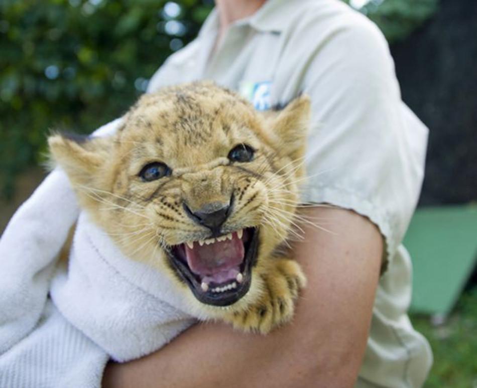 小幼狮对摄影师打断自己喝奶表示很不满意,但是因牙没长全,它威慑的样子变得很可爱。(网页截图)   国际在线专稿:据英国《每日邮报》2月24日报道,迪士尼经典动画《狮子王》曾是许多人童年的美好回忆。动画中狮子王辛巴的原型是来自迈阿密动物园的一头年幼猛狮。而近日,迈阿密动物园的狮子家族又添一新成员。与印象中狮子威猛的形象不同,这只三个月的小幼狮看上去十分温良,像一只小猫。   摄影师近日在迈阿密动物园见到了这只小幼狮。动物园方面介绍,小狮子自出生后不久便遭细菌感染,导致体重大幅下降。动物园的饲养员担心小