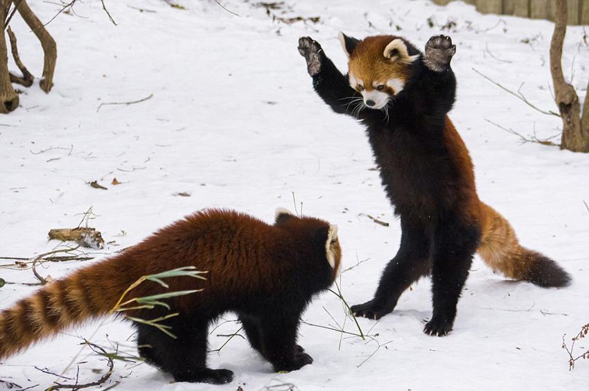 美动物园小熊猫雪中嬉闹打滚(组图)