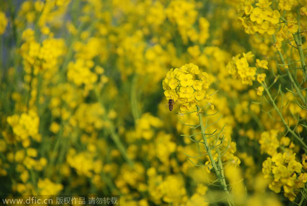 Early bloomers: Best times to view spring flowers in Beijing[1]