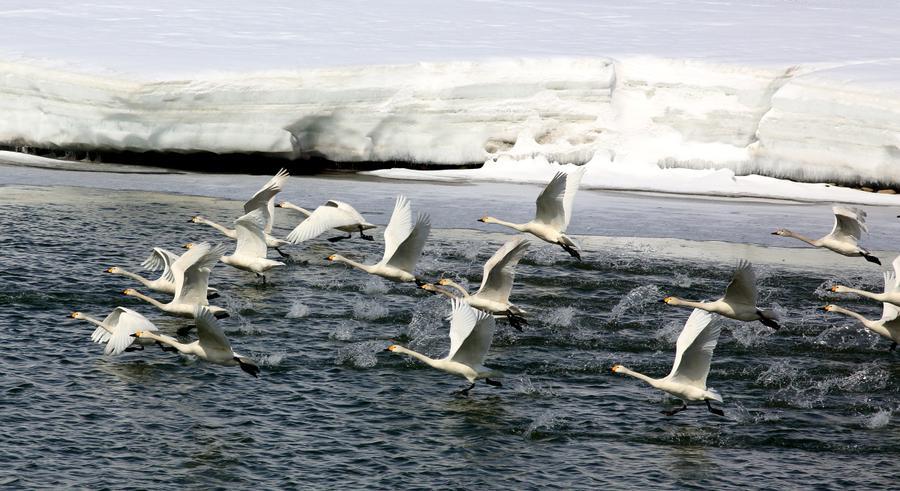 Hundreds of whooper swans arrive at Ertix River[1]