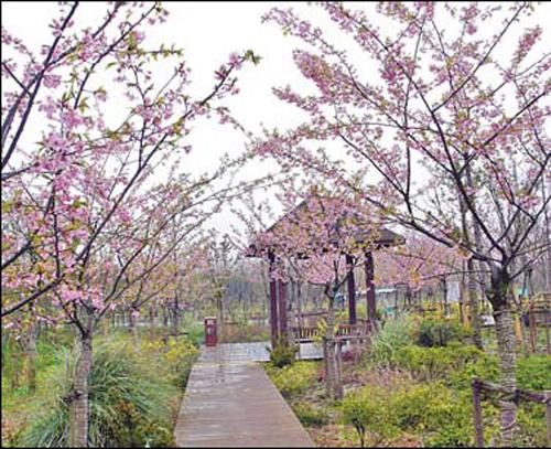 china landscape cherry trees - photo #19
