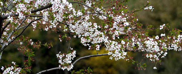 Gucun park is all cherry blossom white travel chinadaily gucun park is all cherry blossom white mightylinksfo Images