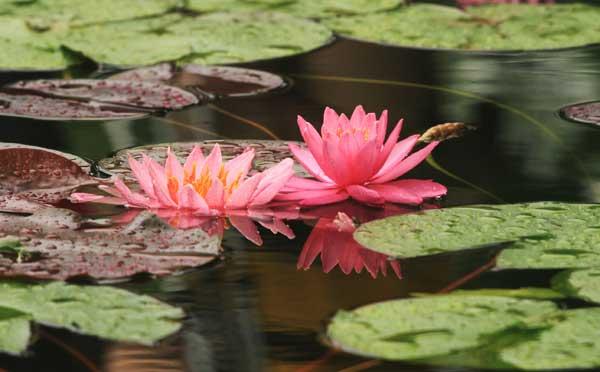 Lotus flowers in full bloom1 chinadaily lotus flowers in full bloom mightylinksfo
