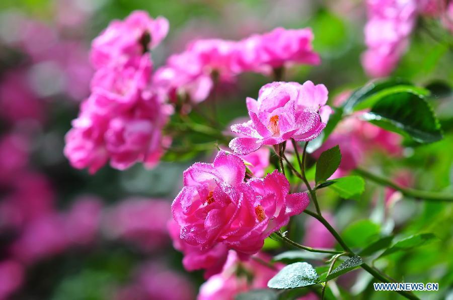 tourists view roses in beijing botanical garden 1