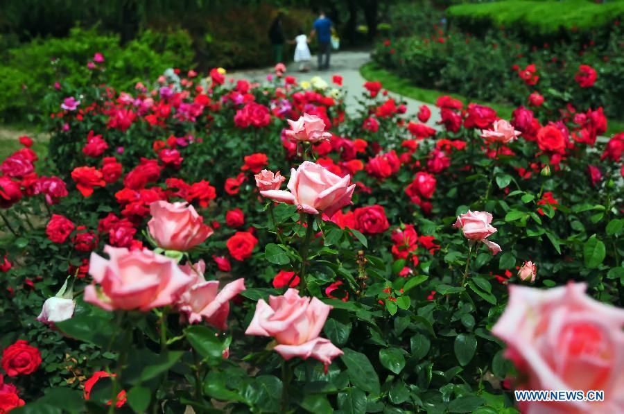 tourists view roses in beijing botanical garden 8