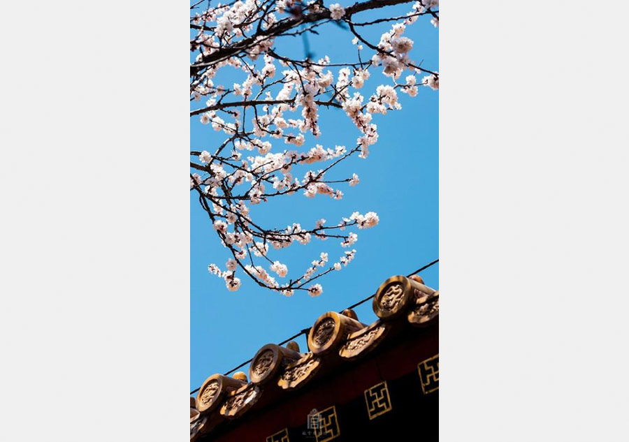 Apricot Flowers In Forbidden City8 Chinadailycn