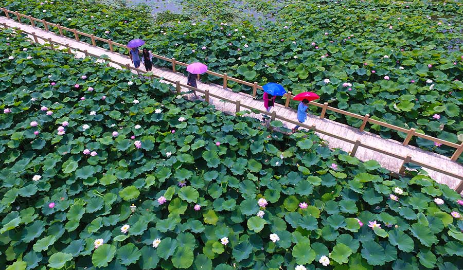 Lotus Flowers Blossom In Taierzhuang Ancient Town Shandong Province