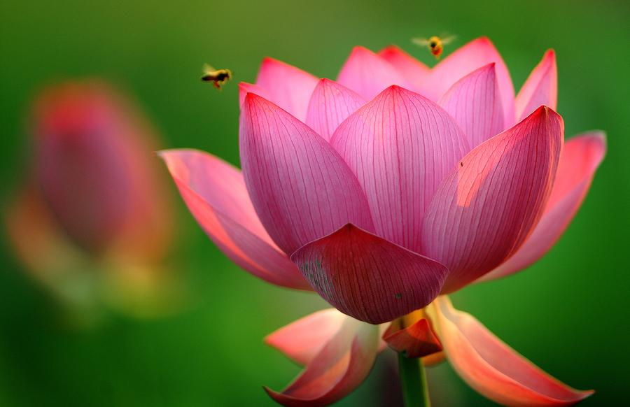 refreshing lotus blossoms to cool down your summer[] chinadaily, Beautiful flower
