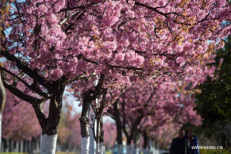 scenery of winter cherry blossoms in china s kunming 1 chinadaily