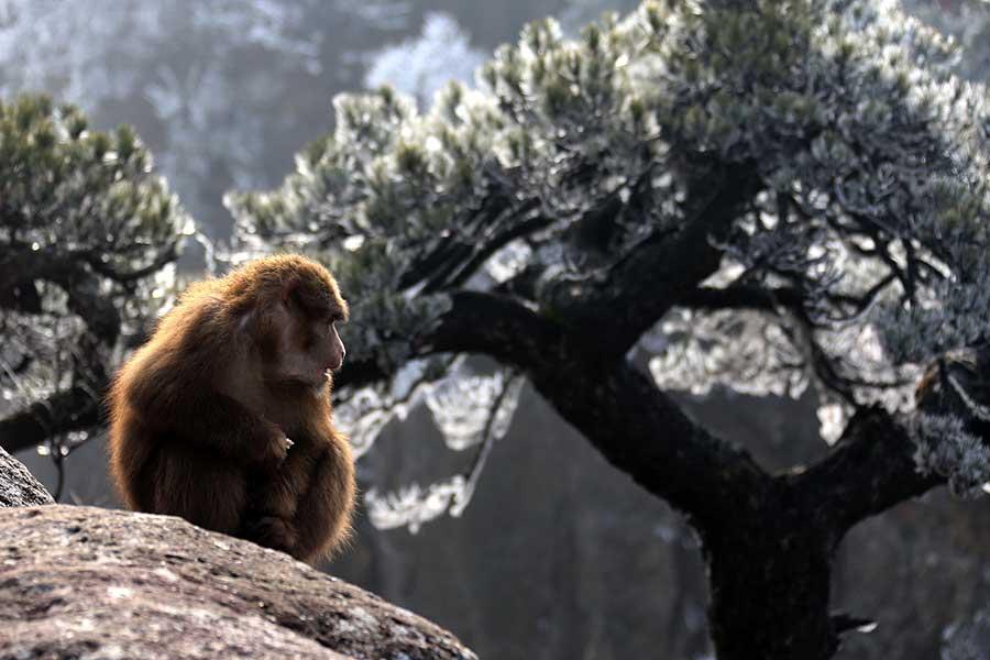 Stump-tailed monkeys charm Mount Huangshan visitors
