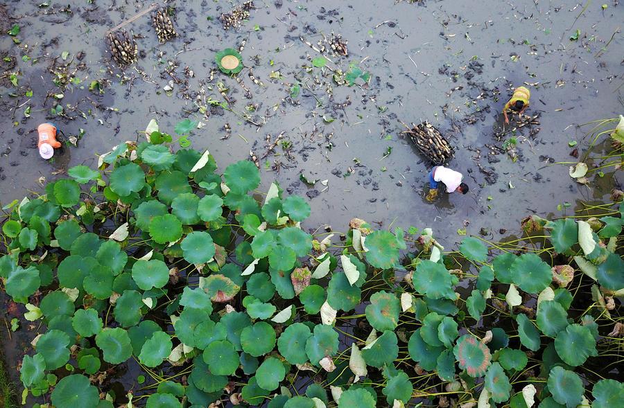 Farmers harvest lotus roots in liuzhou guangxi1 chinadaily farmers harvest lotus roots in liuzhou guangxi mightylinksfo