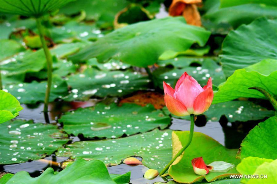 Lotus flower seen in nw chinas gansu1 chinadaily lotus flower seen in nw chinas gansu mightylinksfo