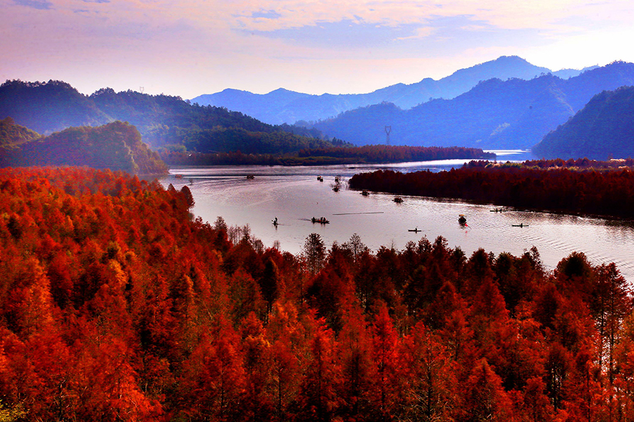 Redwood forest in Anhui shimmers under winter sunlight