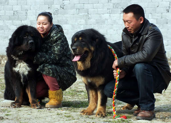 Abandoned Tibetan mastiffs pose threat to snow leopards primacy