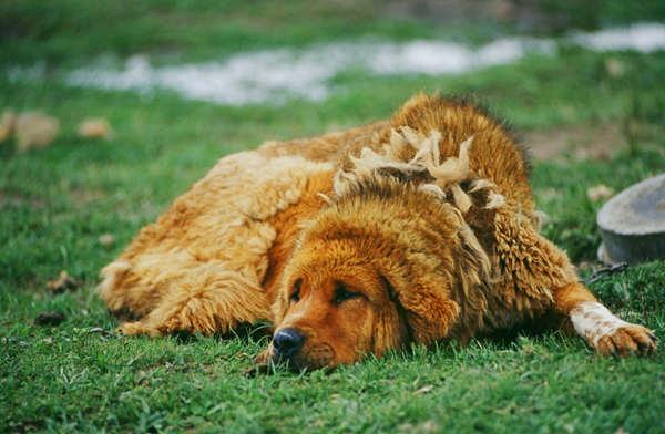 Abandoned Tibetan mastiffs pose threat to snow leopards' primacy