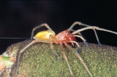 a venomous yellow sack spider