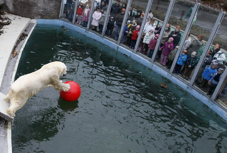 Vitus, an 18-year-old male polar bear, plays with a ball at the ...