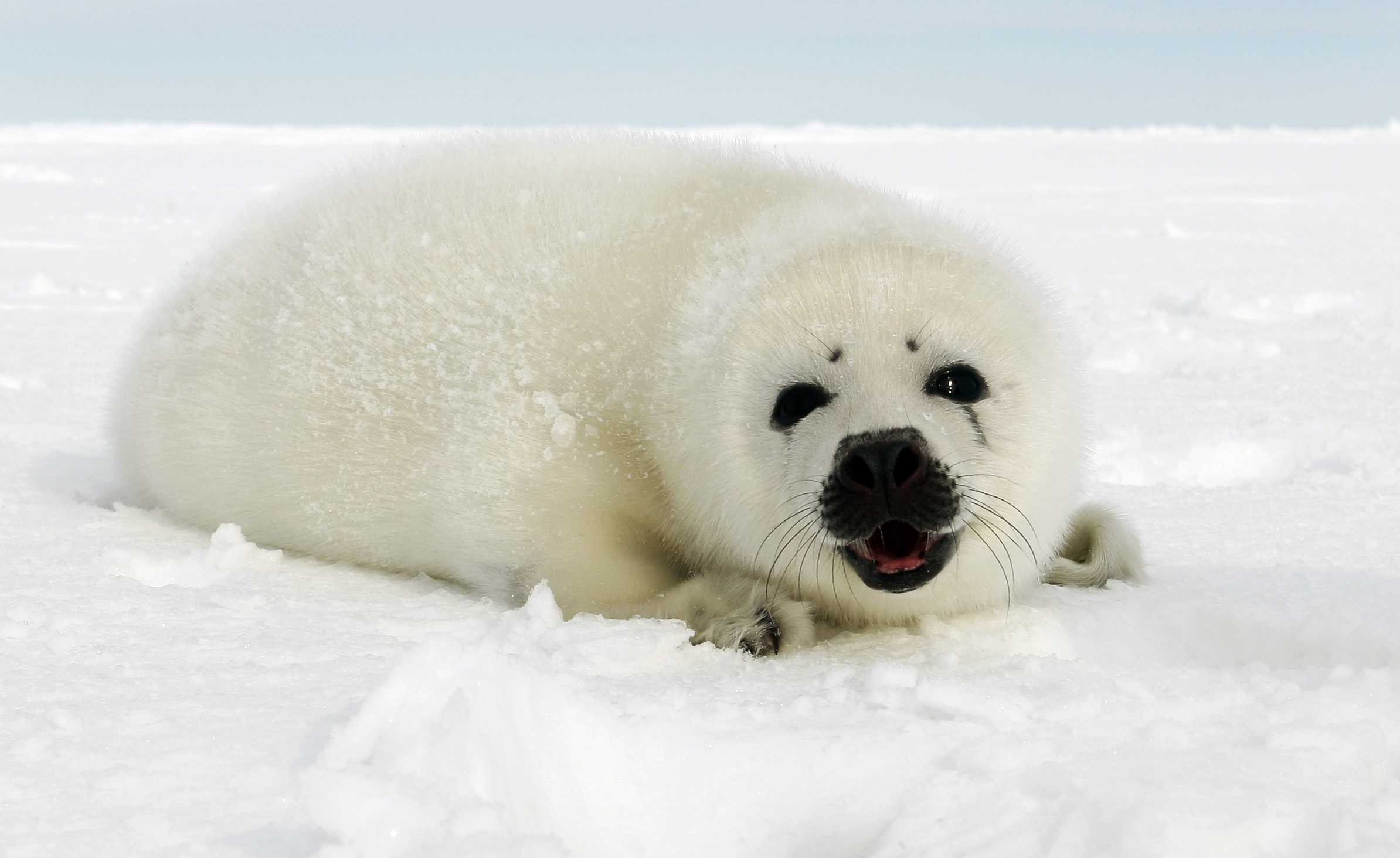 Newborn harp seal pup on ice floe in Canada