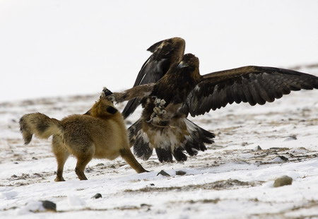 Chasse au renard