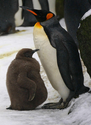 Baby King Penguin Dances Boldly Out Into Public Life