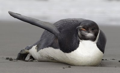Stranded penguin moved to NZ zoo