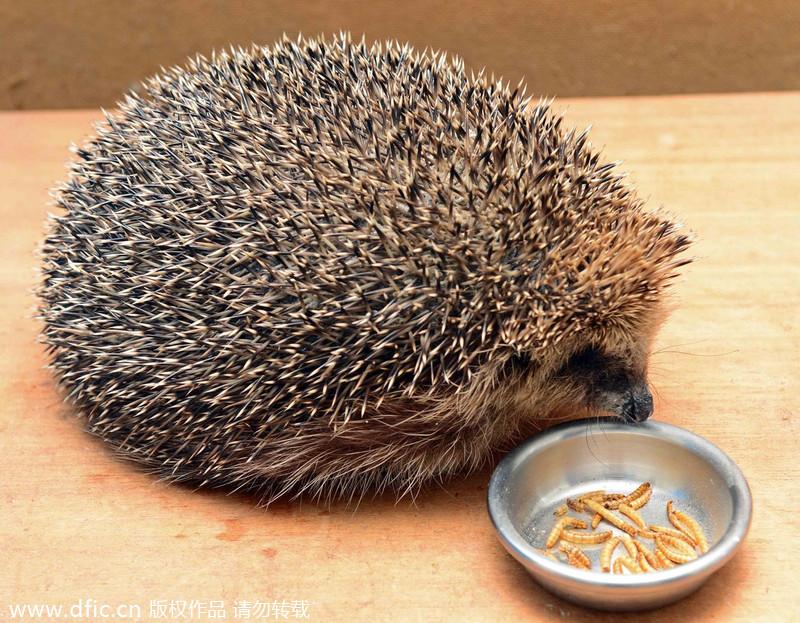 Scotland 39 S Fattest Hedgehog Refuses To Go Back To Nature 3