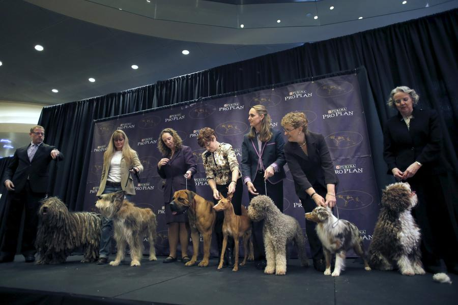 Seven new breeds added to Westminster dog show[1]- Chinadaily.com.cn