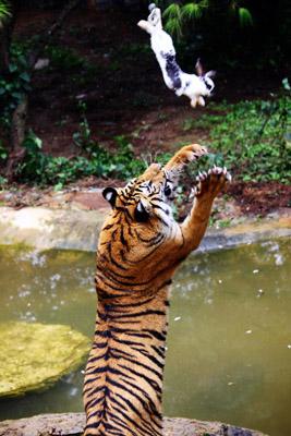 """到云南野生动物园""""深入虎穴""""近距离v近距老虎狮子座自信心有多强图片"""