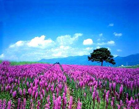 普罗旺斯:在薰衣草的花海中迷失