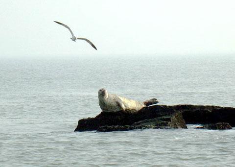 成群野生海豹亮相山东长岛