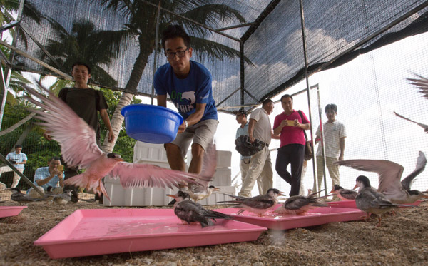 terns are adapting to their new home in sanya hainan