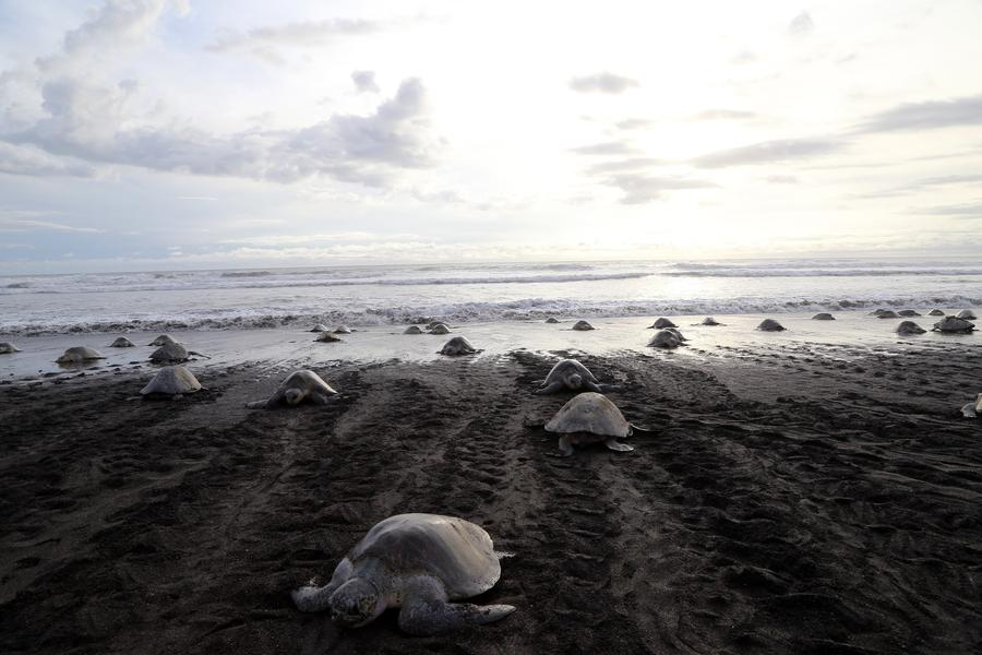 Sea Turtles Nest Along Costa Rican
